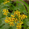 Arrowleaf ragwort (Senecio triangularis), Crater Lake NP, Oregon