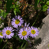 Leafybract Aster (Aster foliaceus), Crater Lake NP, Oregon
