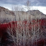 Willows north of Challis, Idaho - Trip to Craters of the Moon, April 1975